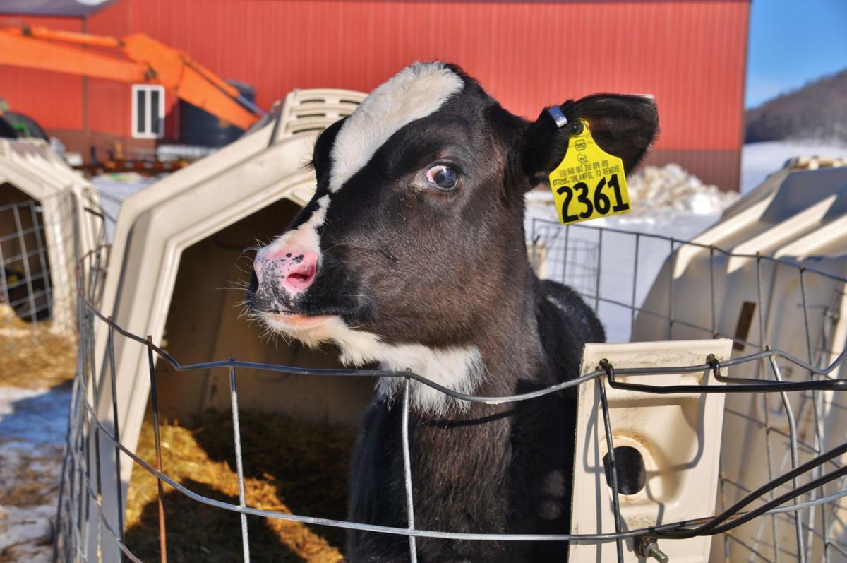 Holstein calf in hutch