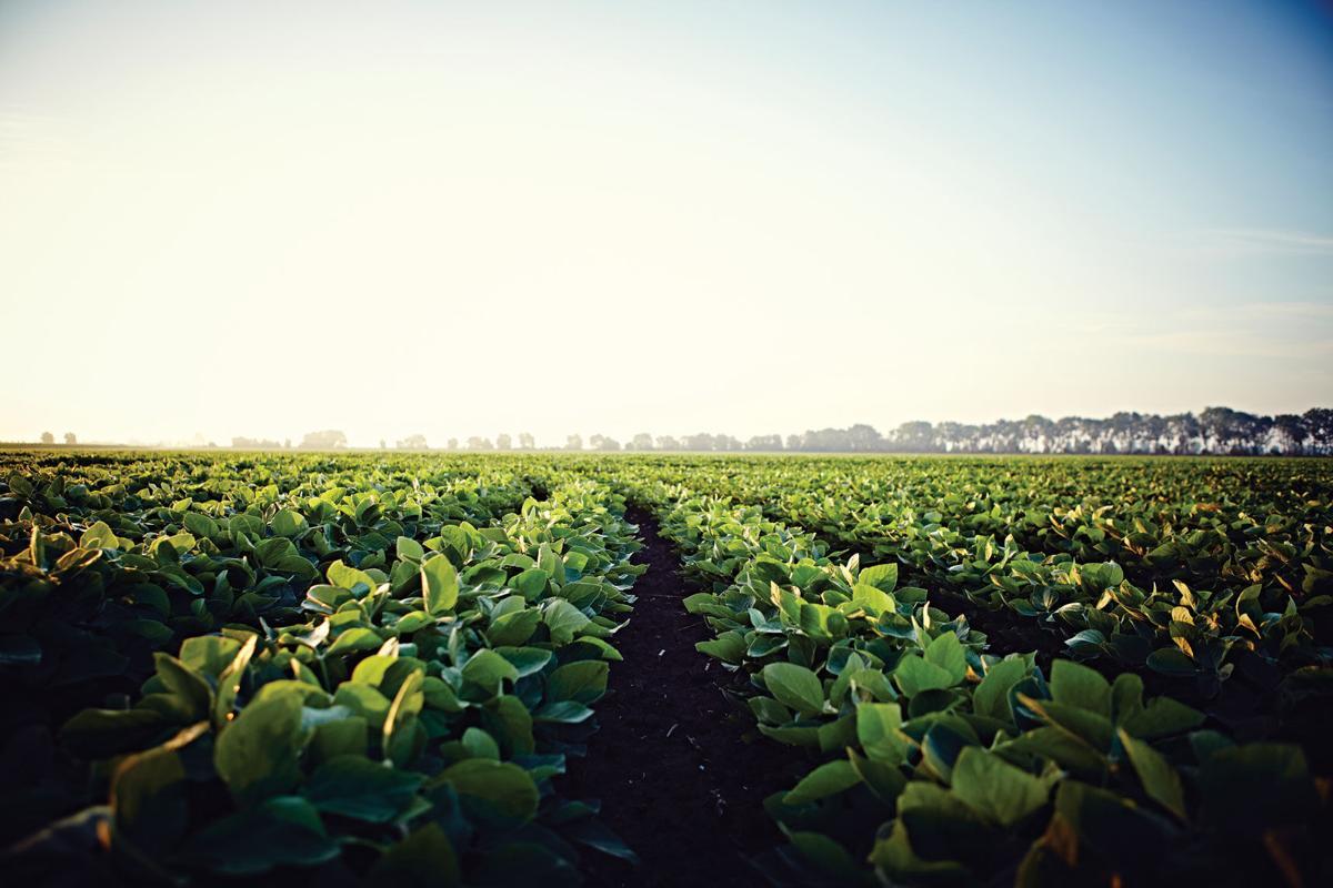 Asgrow Soybeans