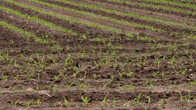 Corn emerging