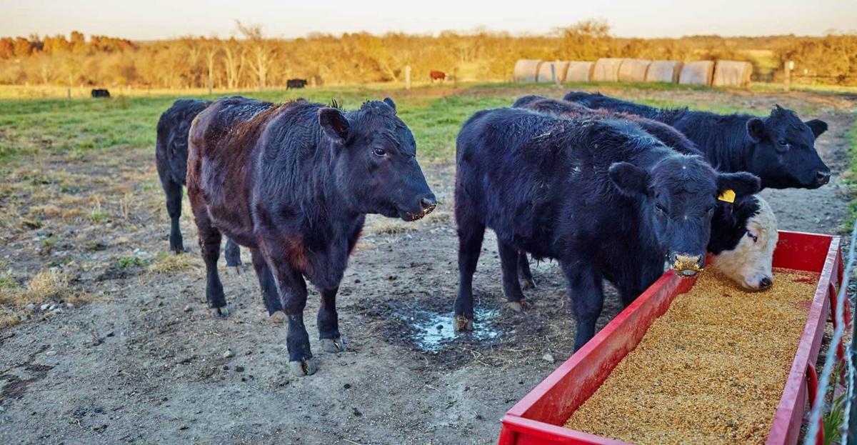 Cattle eat corn
