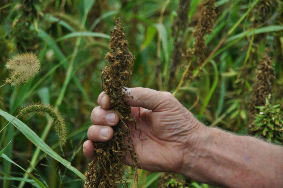 Seed head for industrial hemp