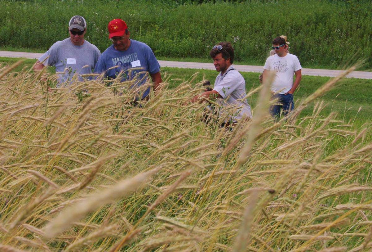 Patrick McHugh shows a crop of rye destined for the La Crosse Distilling Co.