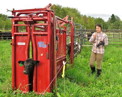 Calf in chute