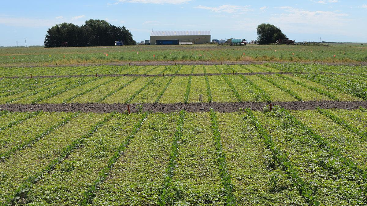 Palmer amaranth management practices