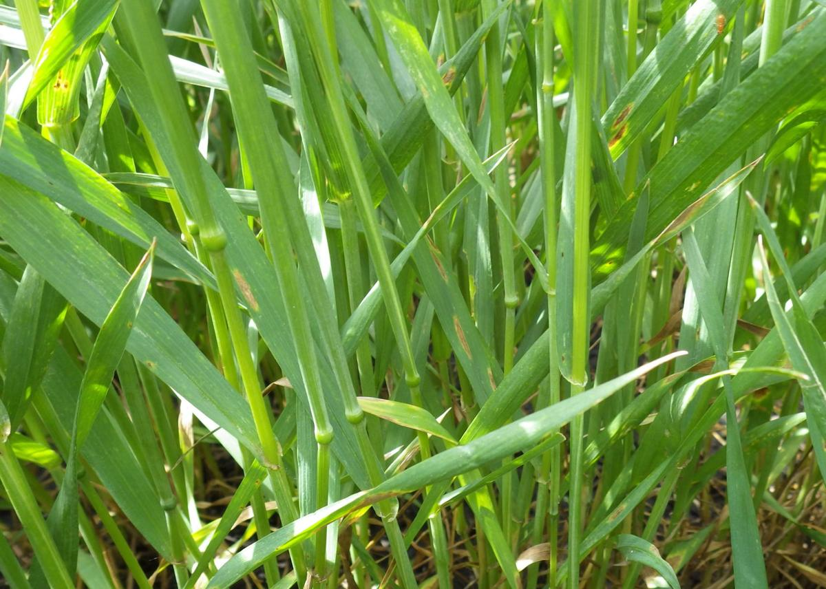 Low disease spring wheat closeup