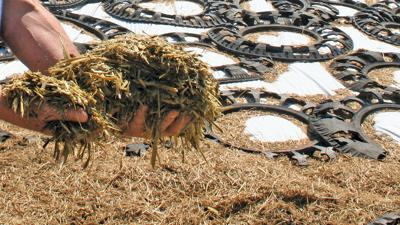 silage in hand