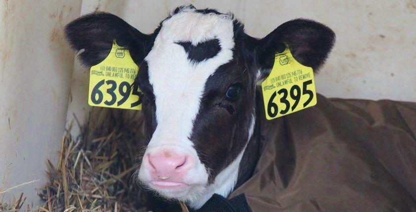 Holstein calf wearing jacket