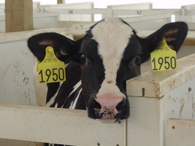 Holstein calf peers out of hutch