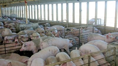 Hogs in confinement building