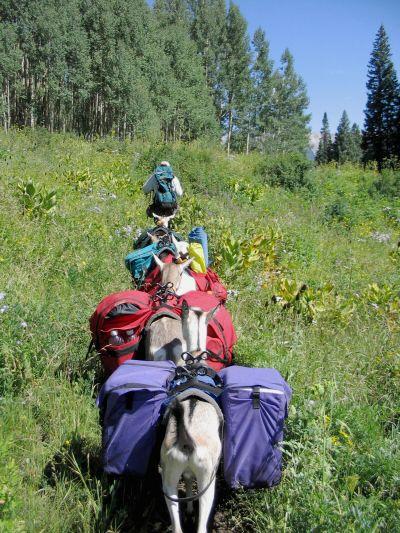 Pack goats: A hunter's new best friend 1