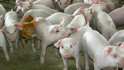 Feeder pigs