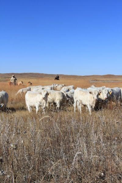Beef Breeds: Charolais 1