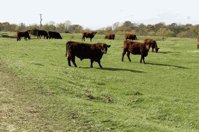 anaplasmosis cattle