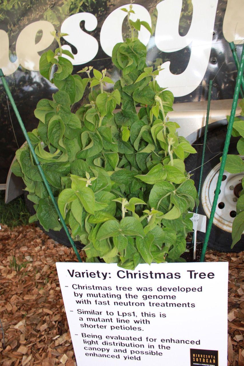 Christmas Tree soybean variety