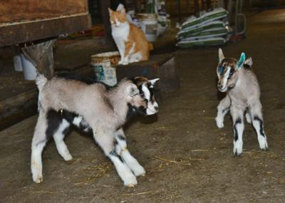 Days-old goat kids play