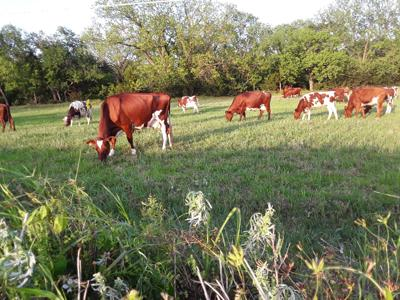 More than milkers: Milking shorthorns touted as good nurse cows that also feed well