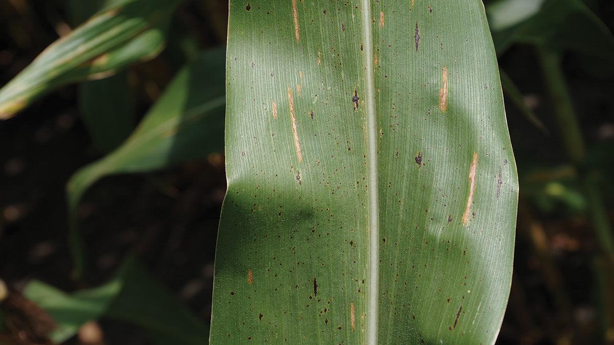 Tar spot on leaf