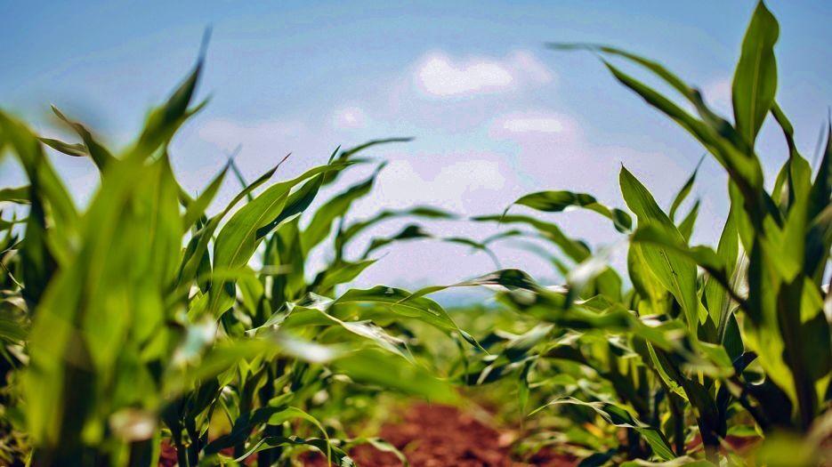 Corn growing in field