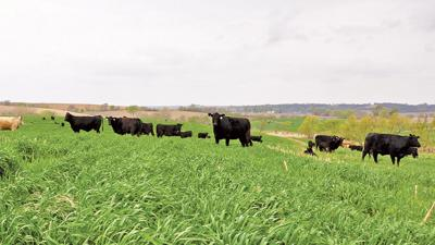 Cattle grazing cereal rye