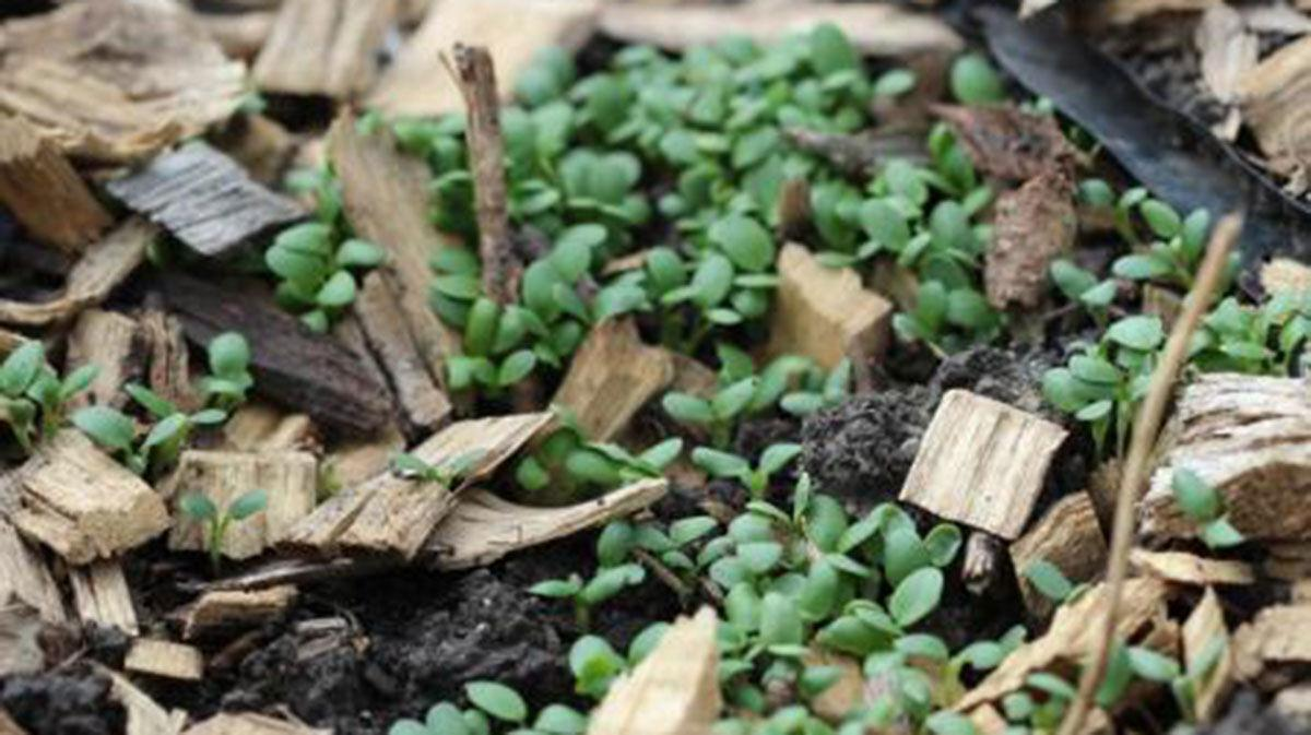 red clover seedling cover crop