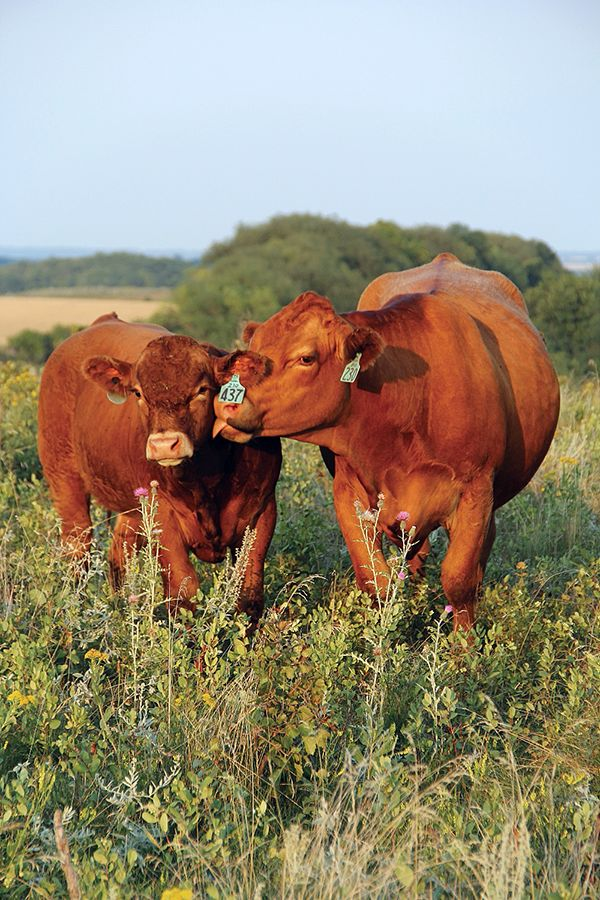 brown simmentals