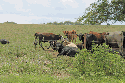Cattle and drought