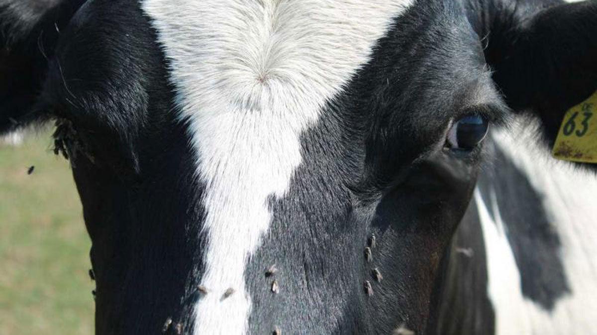 Flies on dairy cattle SDSU photo