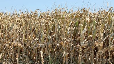 Corn near harvest