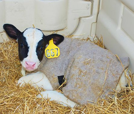 Calf with jacket