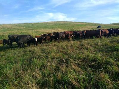 Stewart cattle