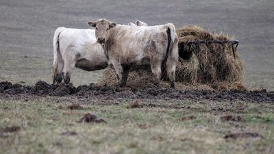 Cattle stand in mud at a feeder in a pasture in Illinois