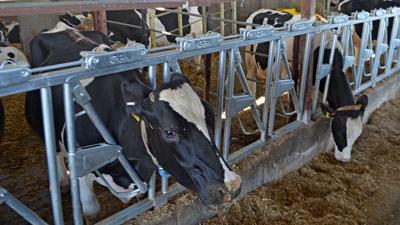 Dairy cows feeding