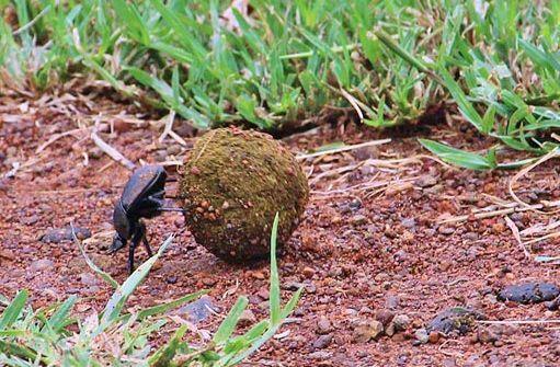 Roller dung beetle