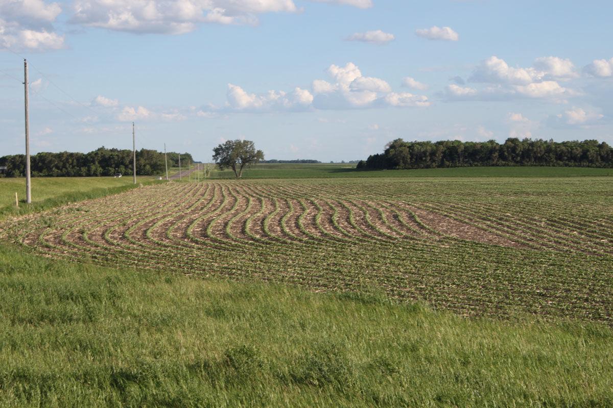 Soybeans near Dawson, Minn. on June 10, 2020