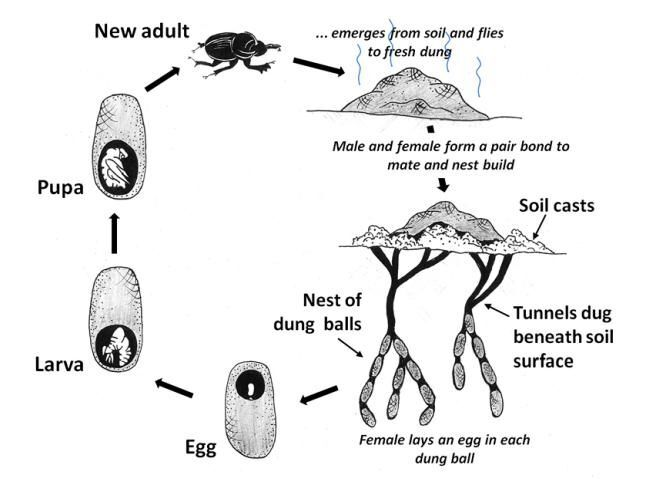 General life-cycle processes of dung beetles