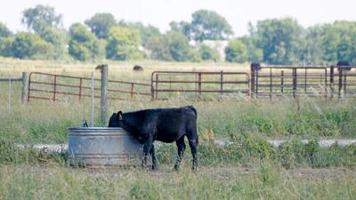 Calf at water in rough pasture