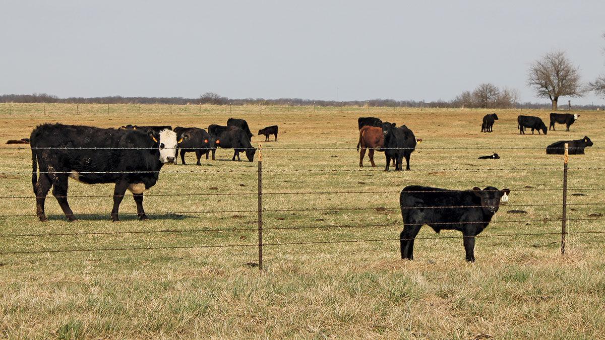 Beef cattle short pasture