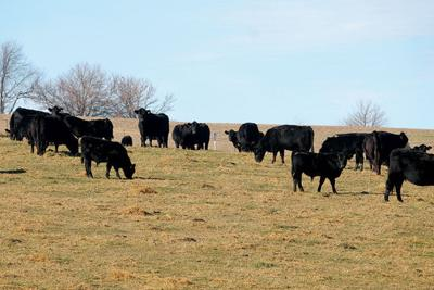 U.S. and Canadian cattle
