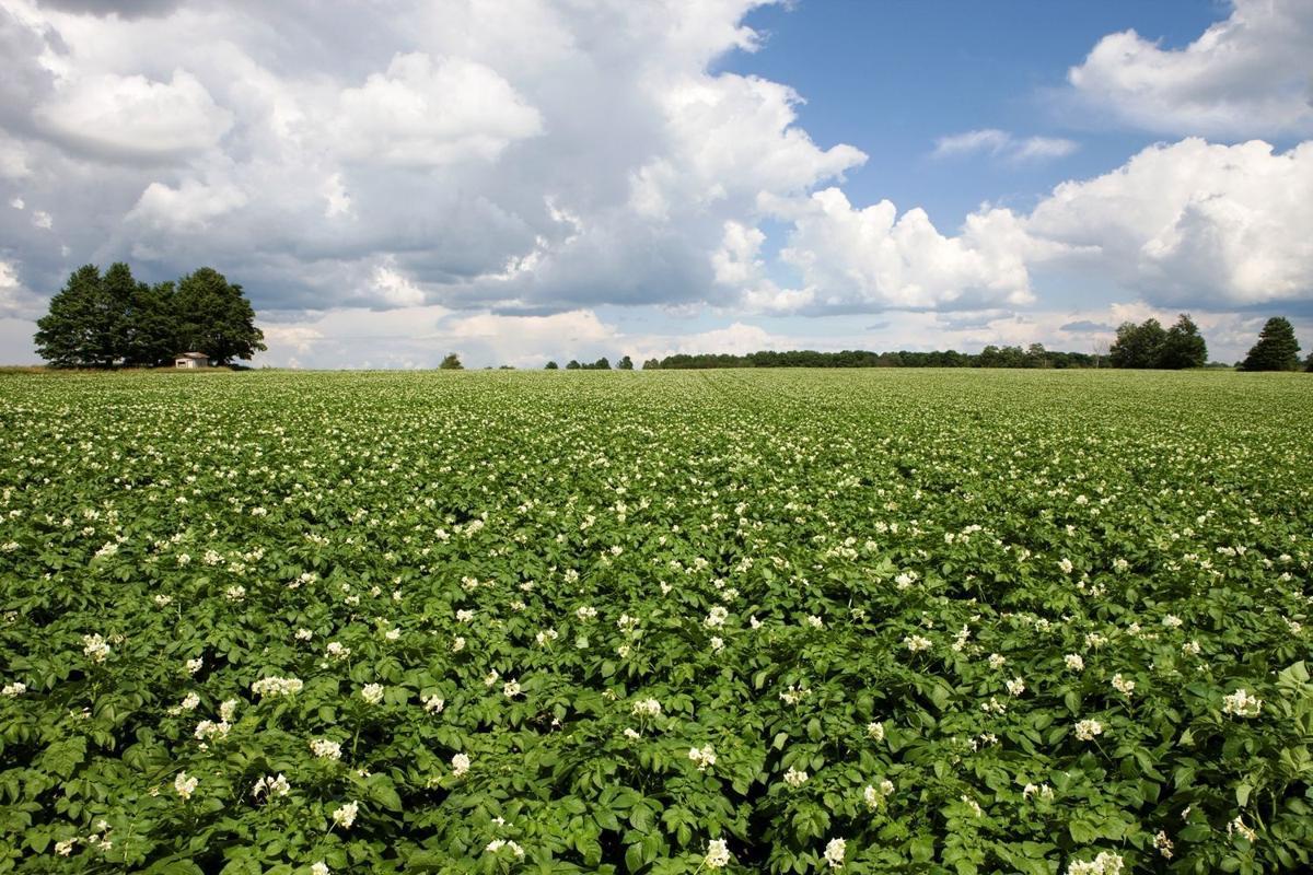 Potato field blossoms