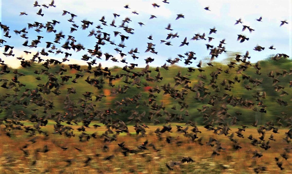 Flock of birds rise