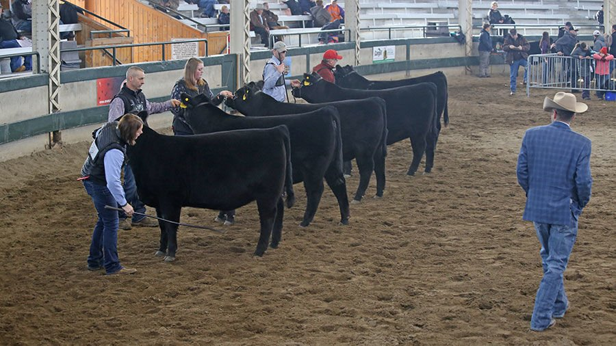 Clint Hunter judges a group of Angus heifers