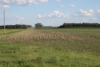 Young soybean field near Dawson, Minn.
