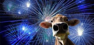 Cow with fireworks