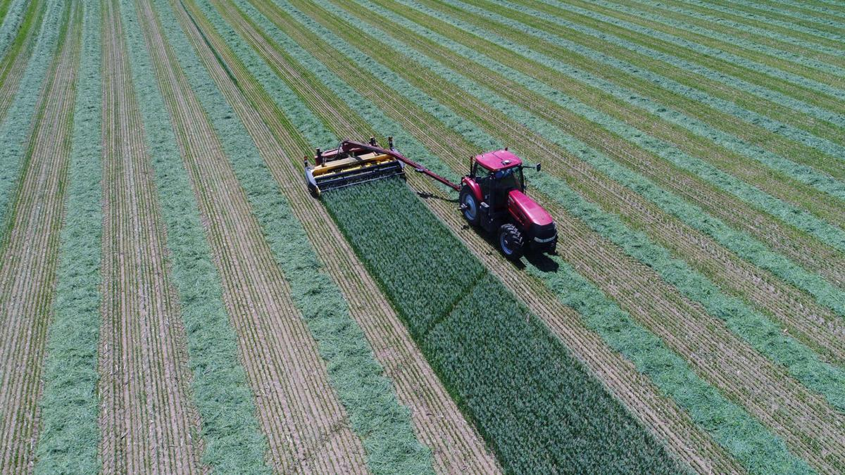 June 26 Green Chop Oats. Drone photo by Nick Peterson, Clear Lake, Minn.