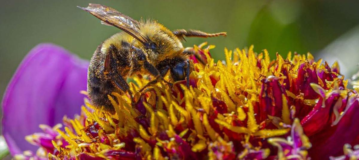 Bee drinks from flower
