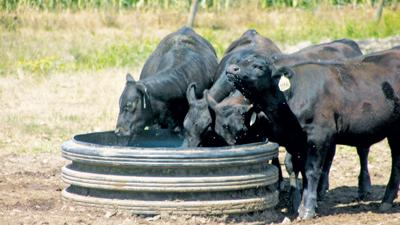 Beef cattle at water