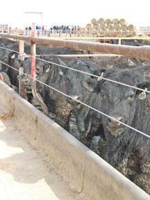 Heat stress model keeps cattle cool