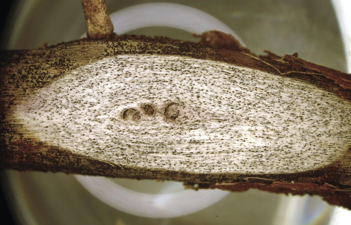 Charcoal rot in soybeans