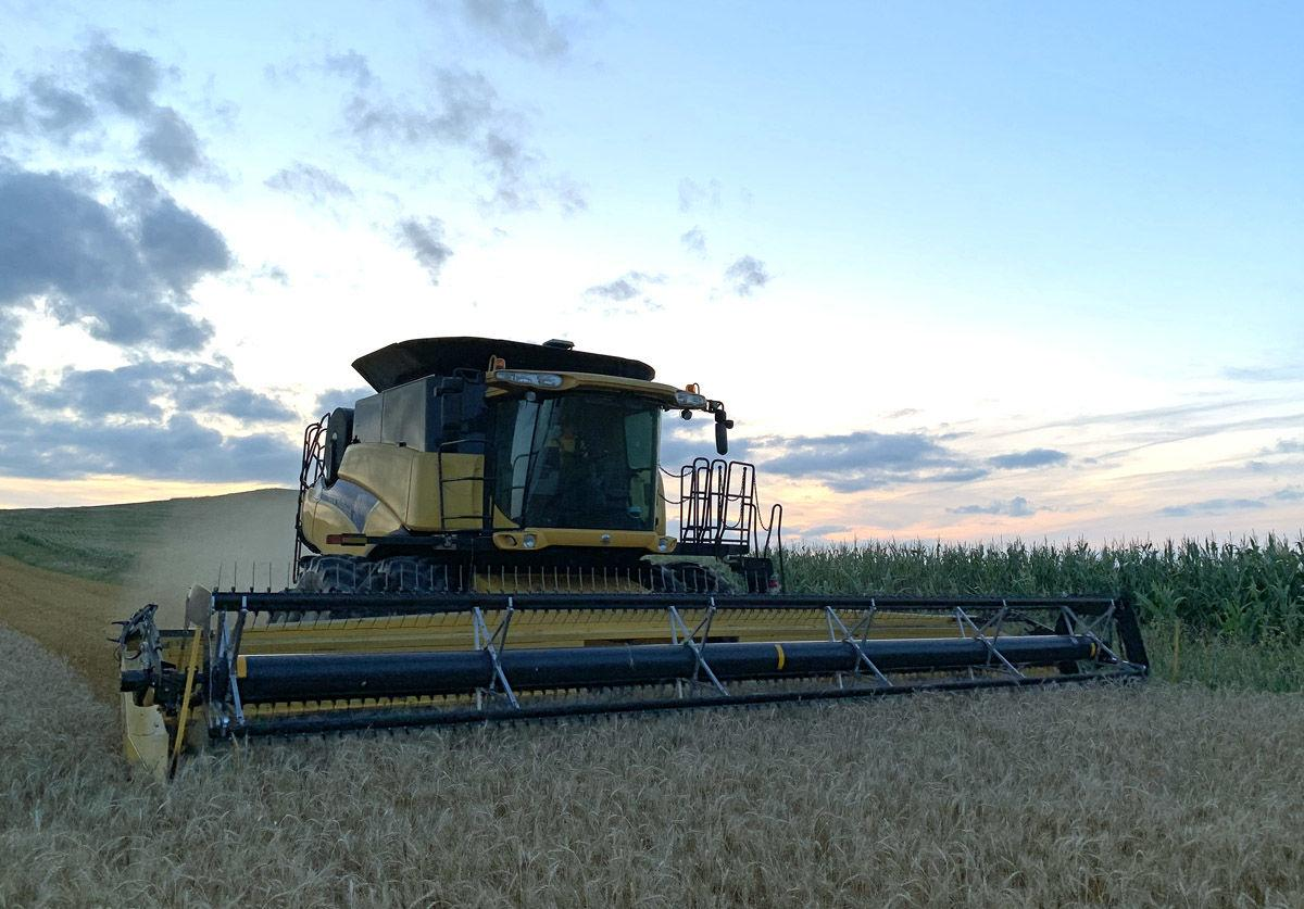 Cutting wheat