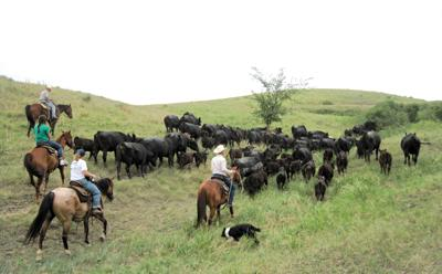 Herding with cattle